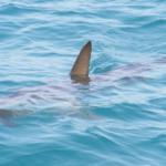 caulonia squalo