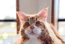 Omar, gatto più lungo al mondo