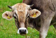 adotta una mucca