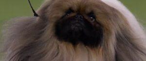 """Il suo nome è """"Wasabi"""" ed è il cane più bello d'America"""