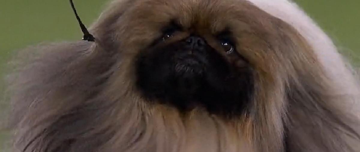 cane più bello d'America