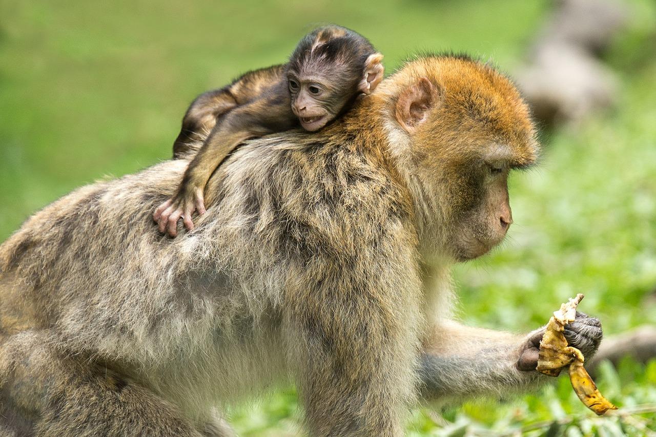 vaiolo delle scimmie